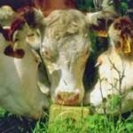 Cattle licking a salt lick