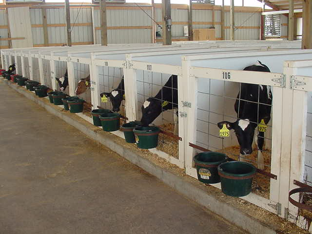 Cows in Stalls